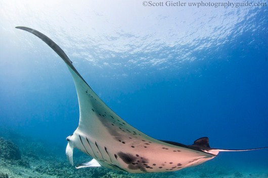manta ray taken with a fisheye lens