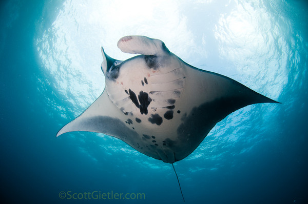 manta ray taken underwater in bali with fisheye lens