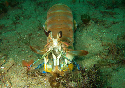 Mantis shrimp underwater photo