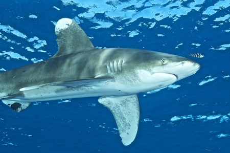 oceanic whitetip shark at Elphinstone reef