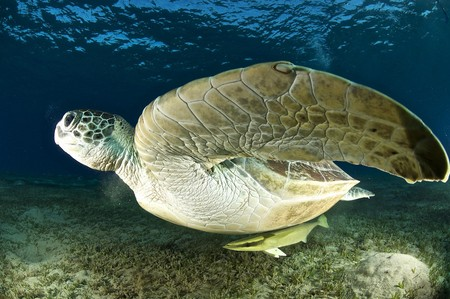 sea turtle underwater in the red sea, egypt