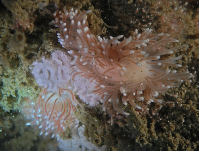 mating cuthona nudibranchs