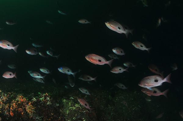 milford sound schooling fish underwater