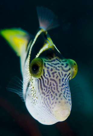 mimic filefish, Paraluteres prionurus mimicing a toby
