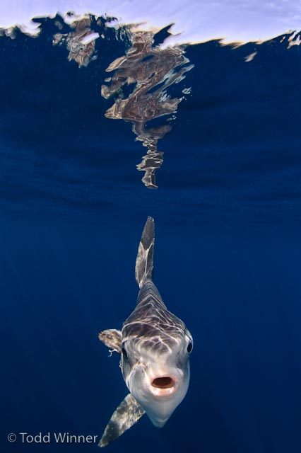 underwater photography of a mola mola with reflection