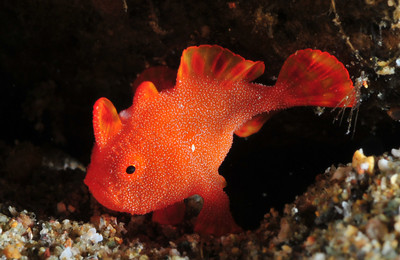 Tiny frogfish from Anilao, found muck diving