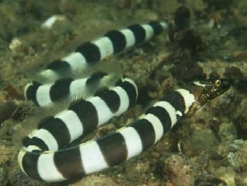 napolean snake eel