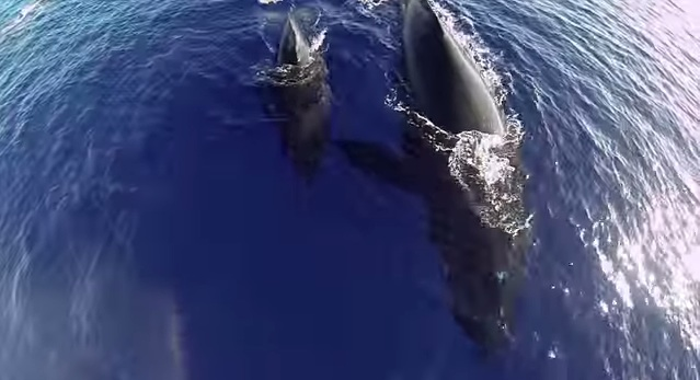Humpback Whale Video with Drone and GoPro
