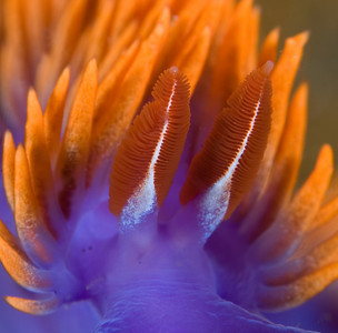 spanish shawl nudibranch, super-macro underwater photography