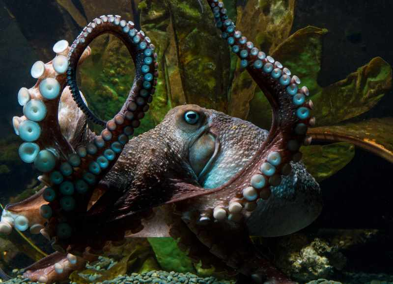 Inky the octopus at National Aquarium of New Zealand in Napier.<br/>Courtesy of National Aquarium of New Zealand