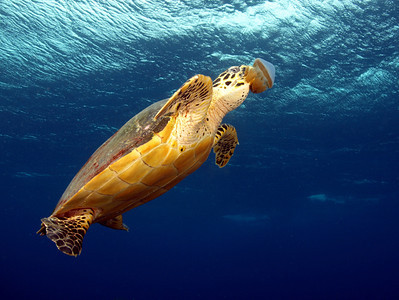 sea turtle, olympus 14-42mm lens
