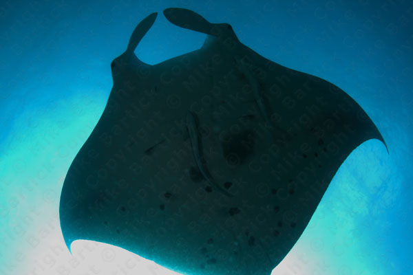 manta ray seen underwater while diving palau