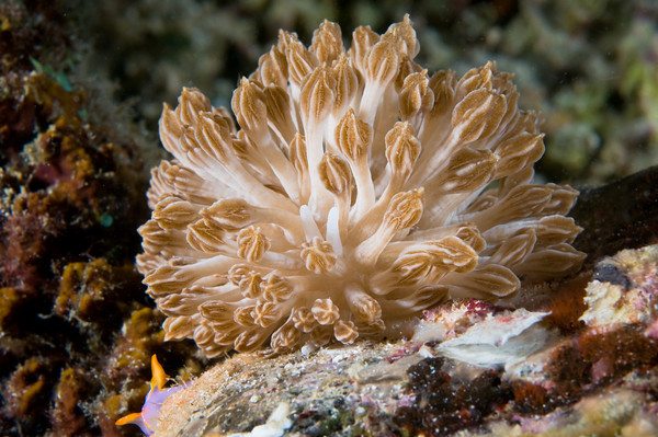 Phyllodesmium rudmani, xeni mimic nudibranch