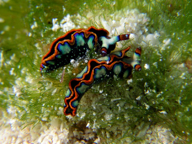 caribbean nudibranch in cozumel