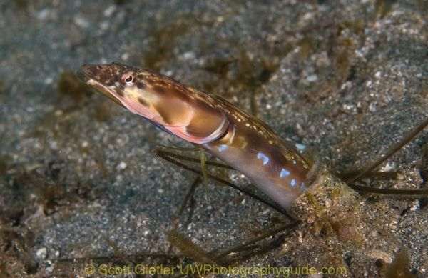 pikeblenny underwater photo at catalina island