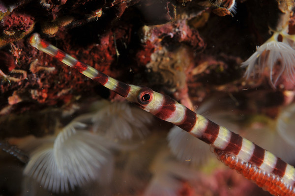 pipefish underwater with eggs