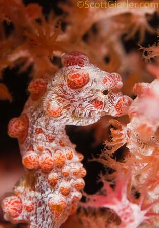 Pygmy seahorse, Japanese fishing wreck, Amed, Bali