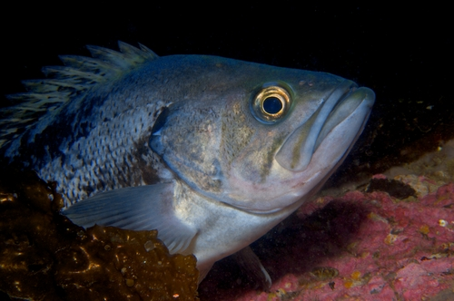 rockfish underwater photo