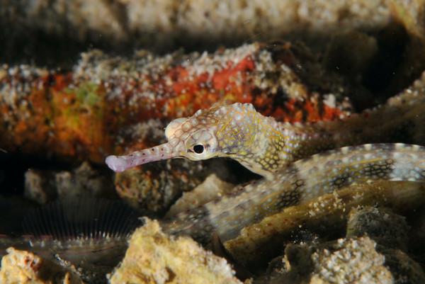 sand pipefish