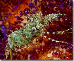 saron shrimp, anilao