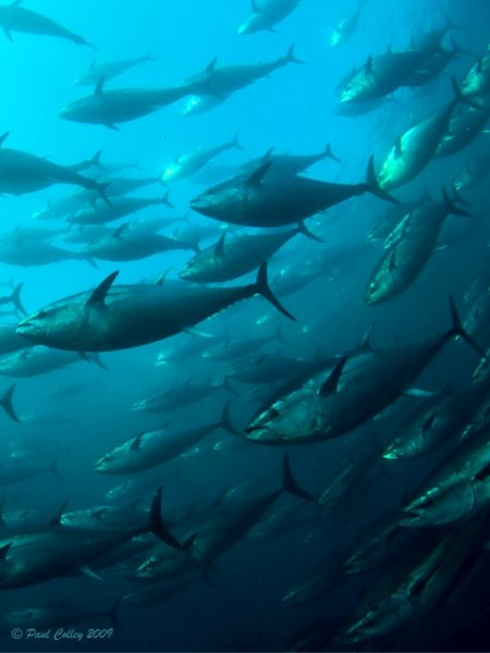 schooling bluefin tuna underwater photography