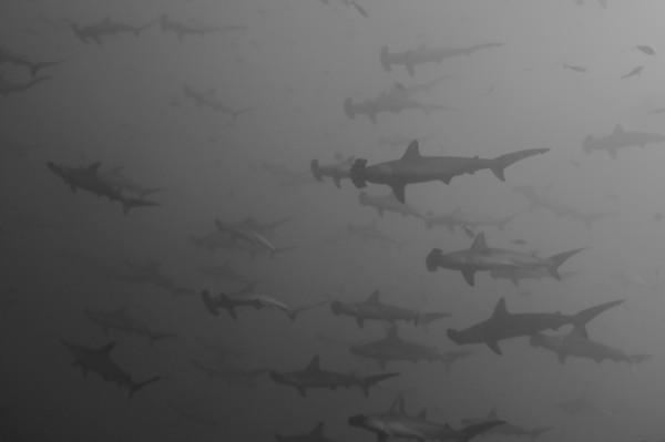 schooling hammerhead sharks, cocos island