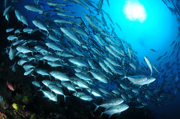 schooling jacks at twin rocks, anilao