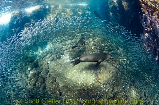 sea lion swarm