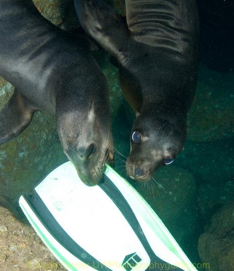 sea lions biting