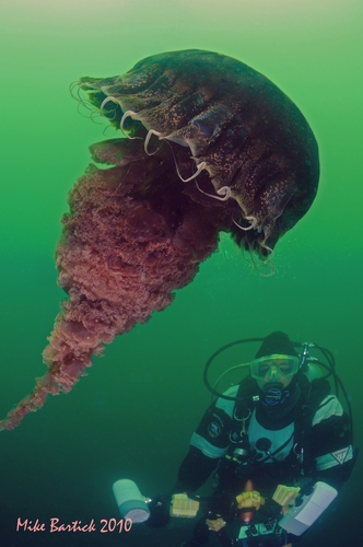 sea nettle jellyfish underwater with diver