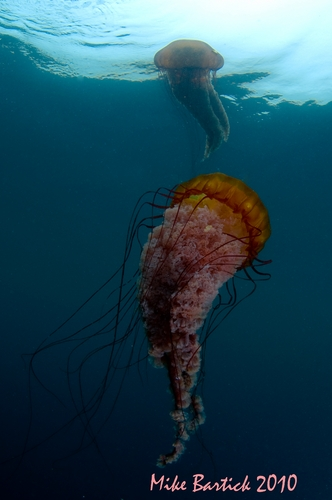 sea nettle underwater photo