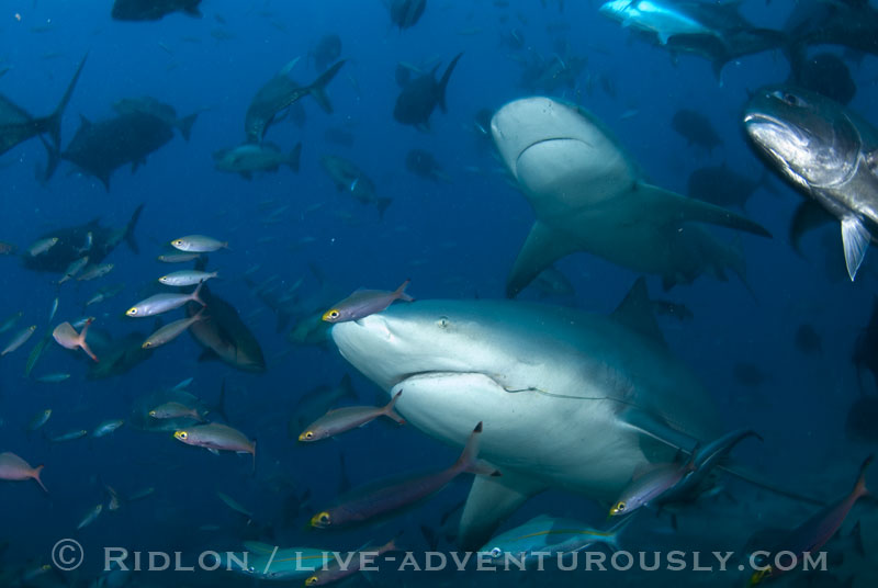 fiji best shark diving destinations