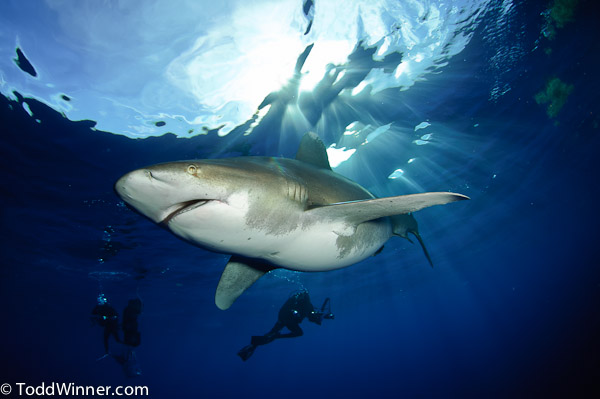 oceanic whitetip shark underwater photography