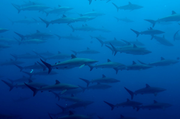 silky sharks at Malpelo