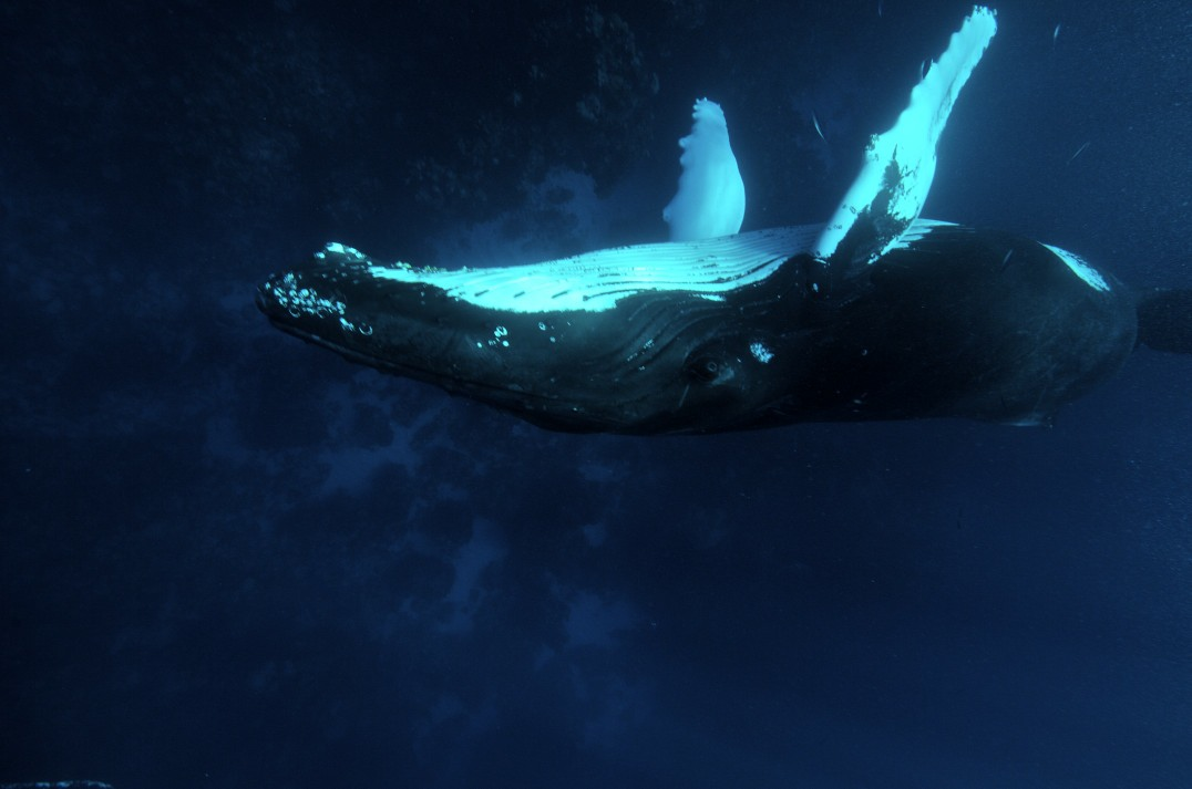 diving with Humpback whales, Silver bank