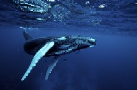 diving with humpback whales at silver bank