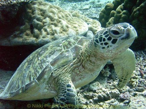 turtle underwater in sipadan, malaysia