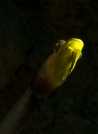 pikeblenny from bonaire, snoot photo