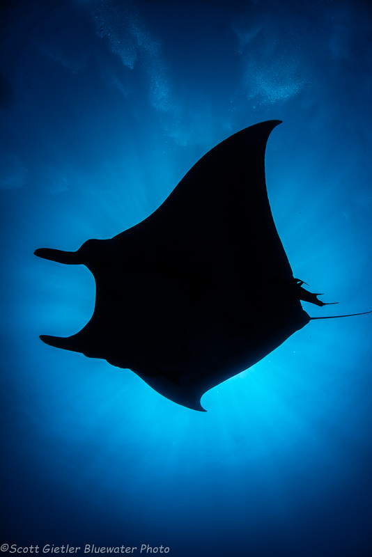 Manta ray underwater photo