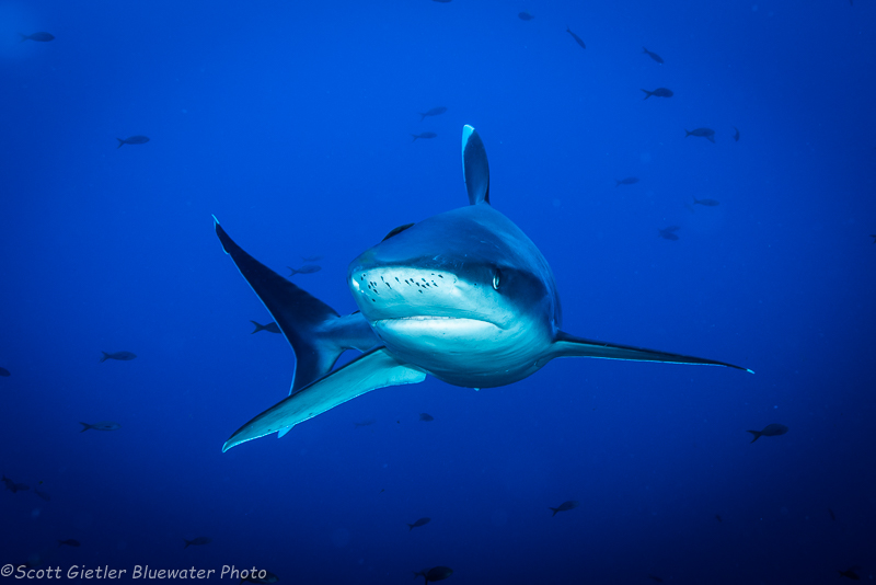 Silvertip Shark - Socorro underwater photography