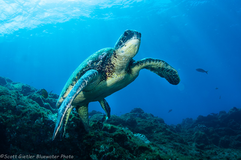 Turtle - Socorro underwater photography