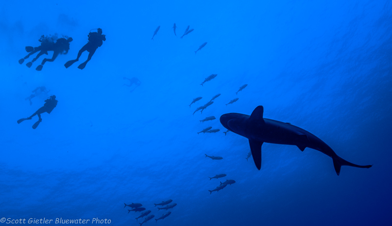 Whitetip - Socorro underwater photography