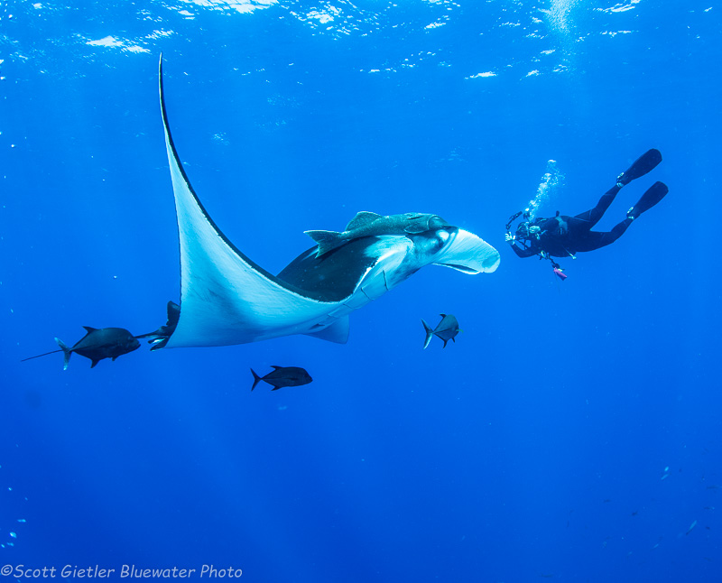Manta Ray - Socorro underwater photography