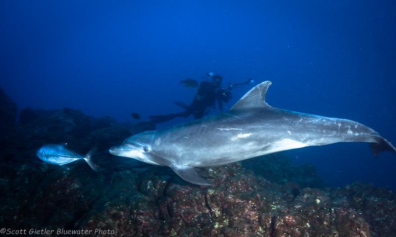 Dolphin - Socorro underwater photography