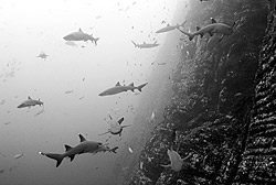 many whitetip reef sharks sharks underwater at Socorro island