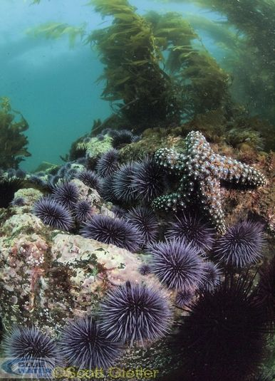 starfish and urchins