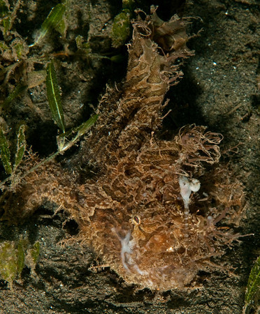 striated frogfish, st vincent