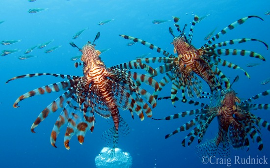 three lionfish at Raja Ampat