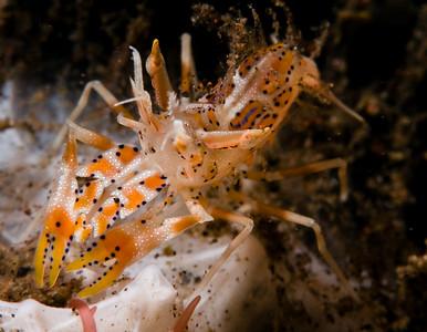 tiger shrimp, seraya, bali