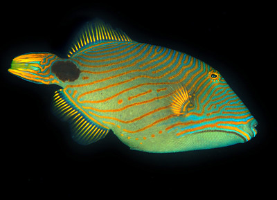 Striped triggerfish